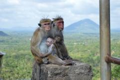 Aapjes! Deze zie je overal in Sri Lanka