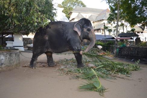 Een olifant aan de Tempel van de Tand
